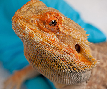 Photo: UC Davis researchers investigated how to improve the health of bearded dragons through the use of ultrasound.