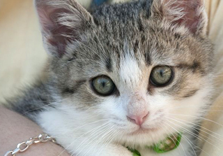 Photo: Vet studies susceptibility of kittens to cat-scratch disease