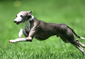 Photo: Italian Greyhound Autoimmune Study