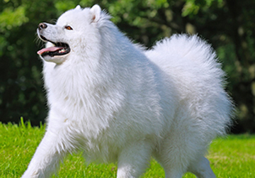 Photo: Enamel hypoplasia in Samoyed dogs