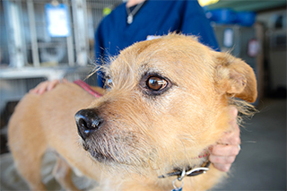 Photo: Canine infectious respiratory disease complex is of particular concern in animal shelters.