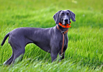 Photo: Genetic Testing for Weimaraner Breeders Webinar Recording
